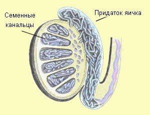 Рисунок, показывающий, что такое семенные канальцы