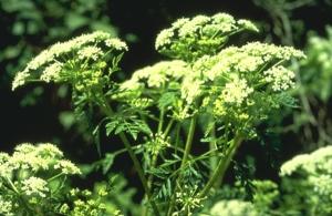 В качестве народного лечения рака гортани часто используется настойка болиголова