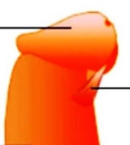 Изображение короткой уздечки на пенисе
